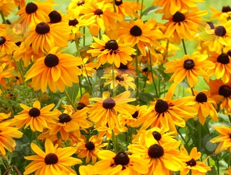 Black Eyed Susans stock photo, Cluster of Yellow Wild Flowers by Wes Shepherd