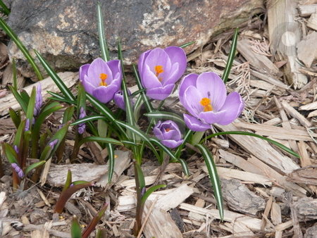 Purple Crocus stock photo, A group of purple crocus in a bed of wood chips. by Corinna Walby