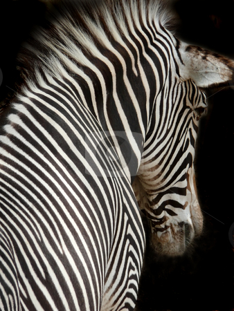 Zebra close up stock photo,  by Corinna Walby