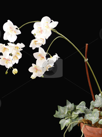 White Orchid in Pot stock photo,  by Corinna Walby