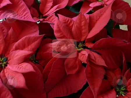 Poinsettia stock photo,  by Corinna Walby