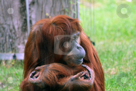 Orangutan portrait stock photo, Portrait of Orangutan with arms folded and funny expression. by Martin Crowdy
