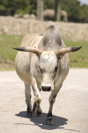 Zebu stock photo, Close-up view of a zebu in the zoo by Vlad Podkhlebnik