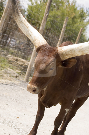Watussi Bull stock photo, Close-up view of a watussi bull walking in the zoo by Vlad Podkhlebnik