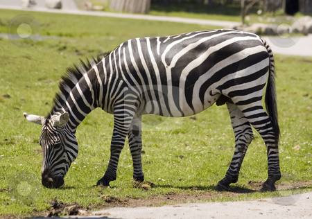 Zebra stock photo, An adult zebra eating grass in the zoo by Vlad Podkhlebnik