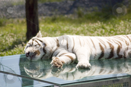 White tiger stock photo, A sibirien white tiger sleeping on his cage in a zoo by Vlad Podkhlebnik