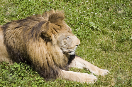 Lion stock photo, Close-up view of a lion sleeping in the grass by Vlad Podkhlebnik