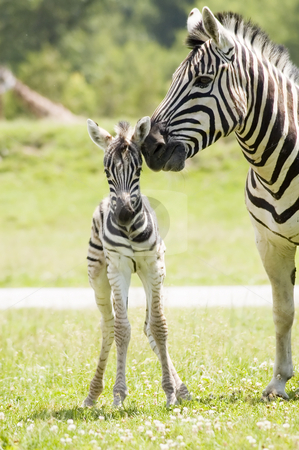 Zebra stock photo, A mother zebra taking care of her baby by Vlad Podkhlebnik
