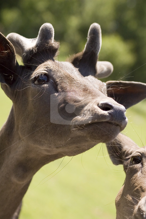 Deer stock photo, Close-up view of a young brown  deer by Vlad Podkhlebnik