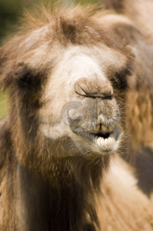 Camel stock photo, Close-up view of a camel with his mouth open by Vlad Podkhlebnik