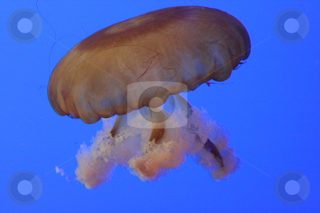 Jelly Fish stock photo, Jelly Fish by Roelf Steyn