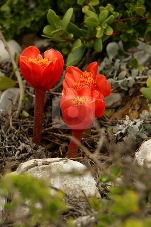 Unique Red Flower stock photo, Unique red Flower. Only bloom for one day. Found at tip of Africa by Roelf Steyn