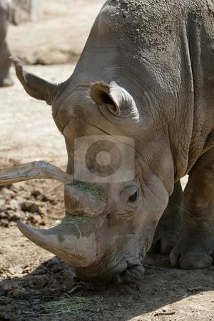 Rhino stock photo, Rhinoceros eating by Roelf Steyn