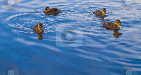Baby Geese and Ducks Swimming For Food stock photo, Baby Geese and Ducks Swimming For Food by Robert Davies