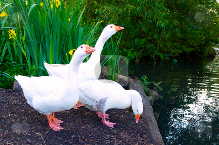 Pure White Geese With orange Beak Looking for Food stock photo, Pure White Geese With orange Beak Looking for Food by Robert Davies