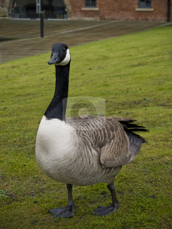 Goose On Green Grass stock photo, Canadian Goose On Green Grass by Robert Davies