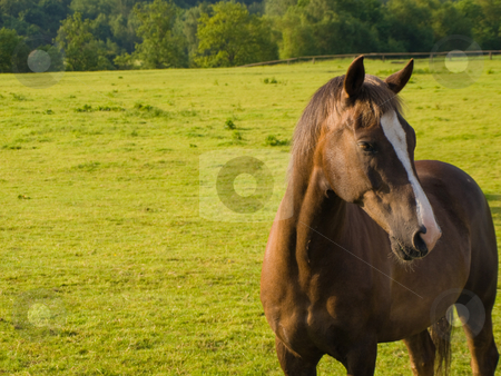 Horse in Beautiful Green Field in British Summer Morning stock photo, Horse in Beautiful Green Field in British Summer Morning by Robert Davies