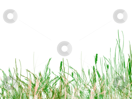 Green Grass and Reeds on White Background stock photo, Green Grass and Reeds on White Background Texture Design As Footer by Robert Davies