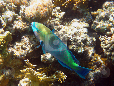 Rusty parrot fish stock photo, Tropical fish and coral reef in Red sea by Roman Vintonyak