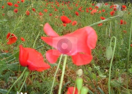Poppy field stock photo,  by Jan Kraus