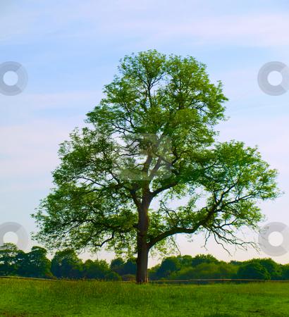 Old Oak Tree in Beautiful Green Field stock photo, Old Oak Tree in Beautiful Green Field in British Summer Morning by Robert Davies