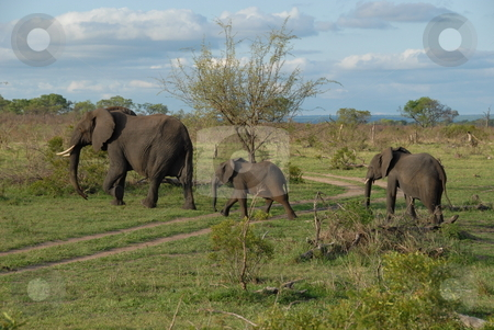 Elephants stock photo, The elephant (family: Elephantidae) is a large land mammal in the order Proboscidea. by Johnny Griffin