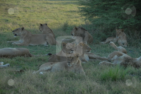 Lioness stock photo, Lioness in Africa.  The lion (Panthera leo) is a member of the family Felidae and one of four big cats in the genus Panthera. by Johnny Griffin