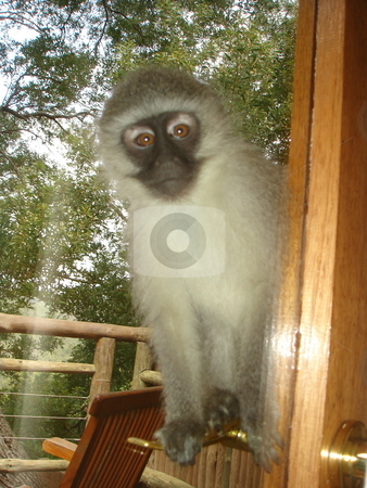 Playful Monkey stock photo, Monkey staring through a window at you by Johnny Griffin