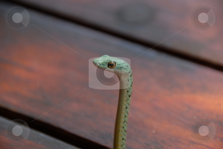 Slithering Snake stock photo, A snake is an elongate reptile of the suborder Serpentes. The serpent is also a symbol of the healing arts. by Johnny Griffin