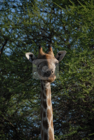 Giraffe head stock photo, Head on shot of a giraffes head and neck by Johnny Griffin