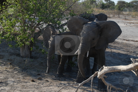 African Elphants stock photo, Elephants in africa by Johnny Griffin