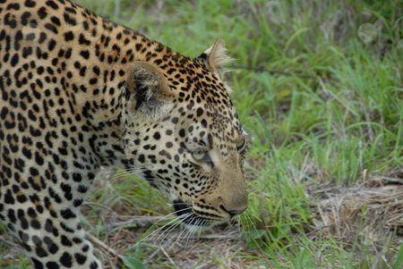 Leopard stock photo, Leopard in africa ready to dine by Johnny Griffin