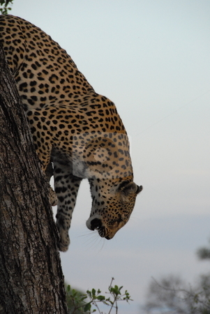 Leopard stock photo, Leopard about to jump down on an unsuspecting prey by Johnny Griffin