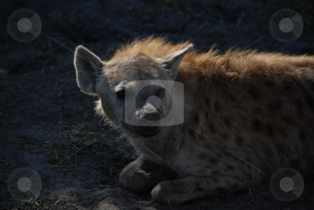 Hyena stock photo, Hyena resting after eating by Johnny Griffin