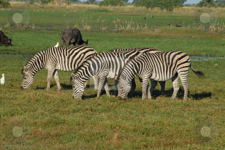 Three grazing zebras stock photo, Three zebras eating grass in the african plain by Johnny Griffin
