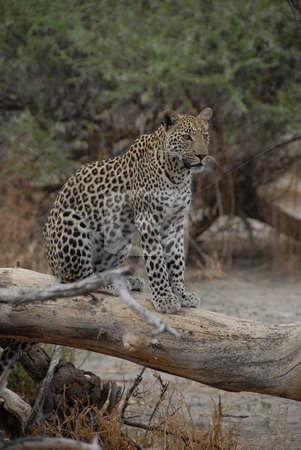 Leopard stock photo, Leopard sitting on a fallen tree limb by Johnny Griffin