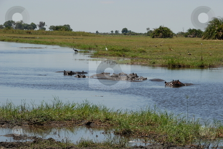 Hippos swimming stock photo, Hippos swimming in a river by Johnny Griffin