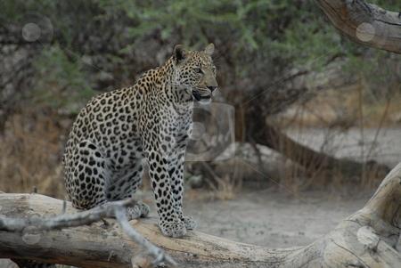 Leopard stock photo, Leopard sitting on a fallen tree limb by Johnny Griffin