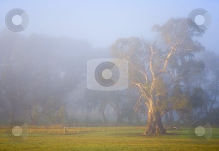 White Gum Morning stock photo, Early morning light illuminates a gnarled white gum in a paddock in the Adeliade Hills region of Australia by Mike Dawson