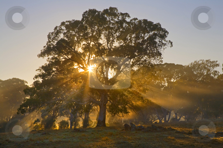 Light rays through trees stock photo, Light spills through and around the limbs and leaves of a large gum tree in as the sun rises through a morning mist in the Adeliade Hills of Australia by Mike Dawson