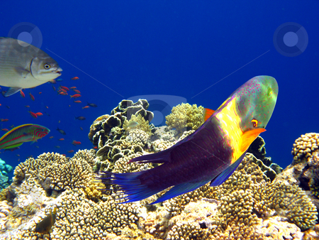 Boomtail wrasse stock photo, Tropical fishes and coral reef in Red sea by Roman Vintonyak