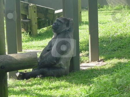 Lazy Day stock photo, Gorilla takin a break by Lori Kirk