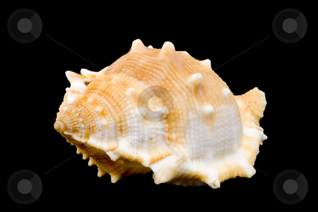 Conch stock photo, Detail of a conch on the black background by Petr Koudelka