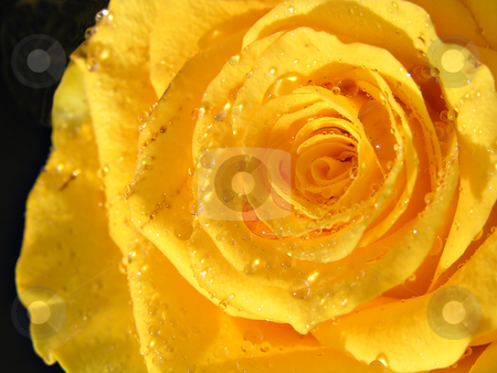 Rose yellow stock photo, Yellow rose with waterdrops in natural sunlight by Annika Str?