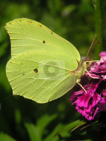 Brimstone butterfly stock photo,  by Annika Str?