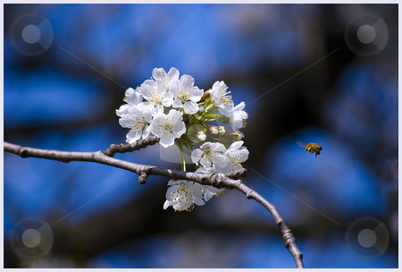 Bee approaching flower stock photo, A shot of a bee approaching a flower. by James Rose