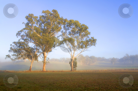 PAddock Sunrise stock photo, First light catches the majestic white gum trees in Adelaide Hills PAddock by Mike Dawson