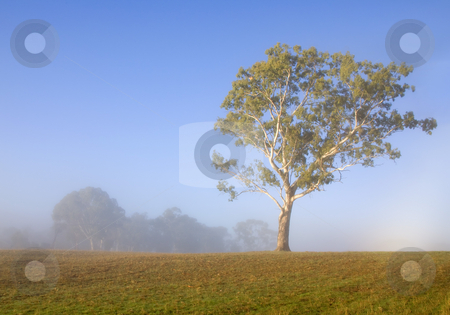 White Gum Morning stock photo, A White Gum tree in the Adeliade Hills of Australia  lit up by the early morning sun as the fog off a small pond burns off behind. by Mike Dawson