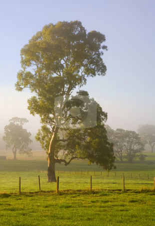 Sun Covered stock photo, A majestic White Gum tree glowing in light of a Adelaide Hills Sunrise by Mike Dawson