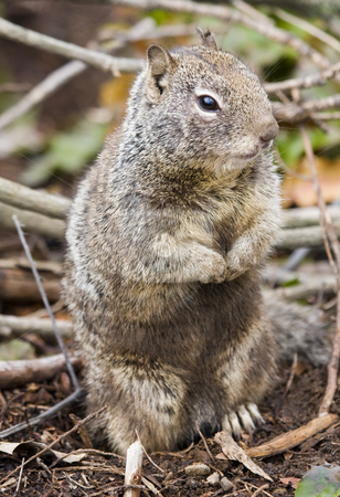 Grey Squirrel stock photo, A western Grey Squirrel appears to waiting for dinner by Mike Dawson